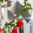 Rose rosse e trulli ad Alberobello, Puglia