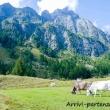Mucche a Crampiolo presso l'Alpe Devero, Piemonte