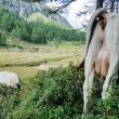 Mucche al Lago delle Streghe a Crampiolo presso l'Alpe Devero, Piemonte