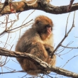 Macaco, Giappone