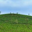 Piantagioni di the, ghati occidentali, Kerala
