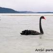 Cigno nero presso il lago Rotorua, Nuova Zelanda