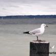 Uccello presso il lago Rotorua, Nuova Zelanda