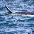 Avvistamento delle balene, Sudafrica