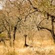 Giraffa, Swaziland