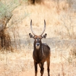Antilope d'acqua, Tanzania
