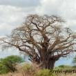 Baobab, Tanzania