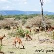 Impala, Tanzania