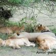Leone e famiglia, Tanzania