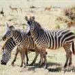Zebre, Tanzania