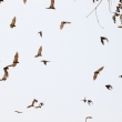 Pipistrelli al villaggio, Togo
