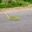 Camaleonte sulla strada, Togo
