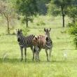 Zebra, Togo