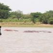 Pescatori a Niamtougou con ippopotami, Togo