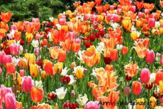 Tulipani, Parco Sigurtà