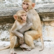 Scimmiette al Tempio delle Scimmie presso Jaipur, in Rajasthan, India