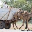 Dromedario-traino-Pozzo-Chand-Baori-Abhaneri-Rajasthan-India