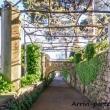 Glicine presso Villa Cimbrone a Ravello, Costiera Amalfitana