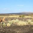 Dromedari nei pressi della Salita sul vulcano, Etiopia