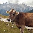 Mucca presso il Monte Cristallo, Alto Adige