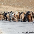 Capre al pascolo a i Kos, Grecia