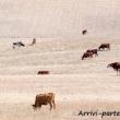 Mucche al pascolo nei pressi di Setenil de las Bodegas in Andalusia, Spagna