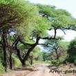 Acacia, Tanzania