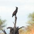 Aquila, Tanzania