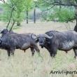 Bufali, Tanzania