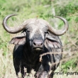 Bufalo, Tanzania