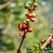 Caffè, Tanzania