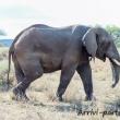 Elefante, Tanzania
