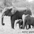 Elefanti, Tanzania