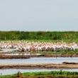 Fenicotteri, Tanzania