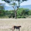 Ghepardo, Tanzania