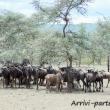 Gnu, Tanzania