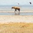 Iena ridens, Tanzania