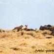 Leone e leonessa, Tanzania