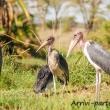 Pennuti, Tanzania