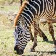 Zebra, Tanzania