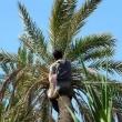 Impollinazione della palma da dattero, Nefta