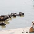Bufali nelle acque del Gange a Varanasi, Uttar Pradesh, India